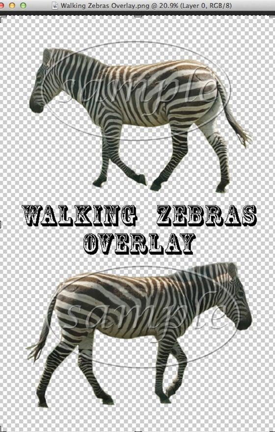 Image of Walking Zebras Overlay
