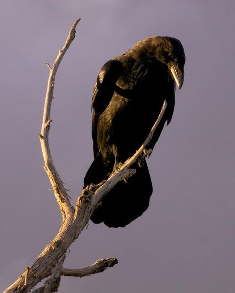 Image of Sunset Dark Bird