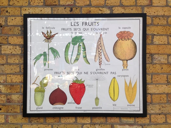 Image of 1950s Botanical Poster of Fruits