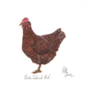 Image of Rhode island red - original watercolour painting