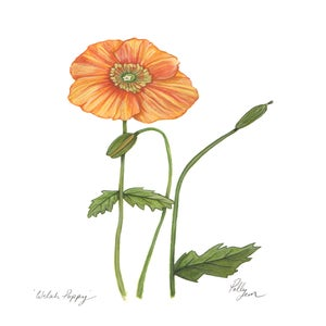 Image of Welsh Poppy - original watercolour painting