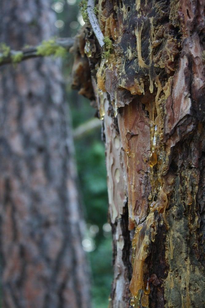 Image of Ponderosa Pine Salve