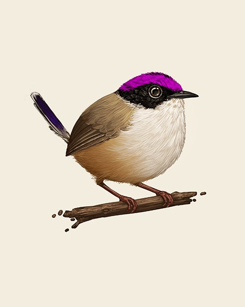 Image of Purple-crowned Fairywren