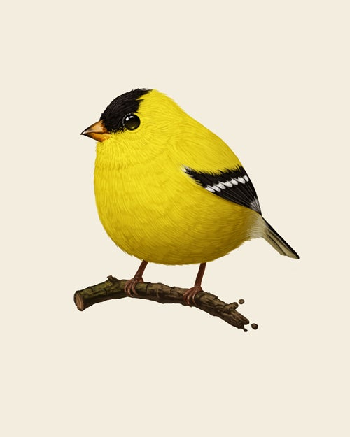 Image of American Goldfinch