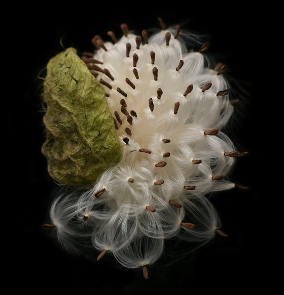 Image of Petal Pod Limited Edition of 15, Framed.