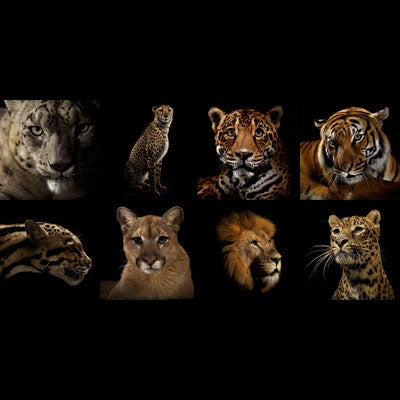 Image of Big Cat Portfolio of  8 prints
