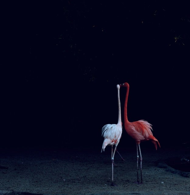 Image of Flamingos