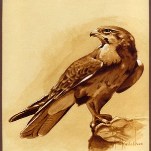 Image of Falcon, Ink on Illustration Board Signed Print