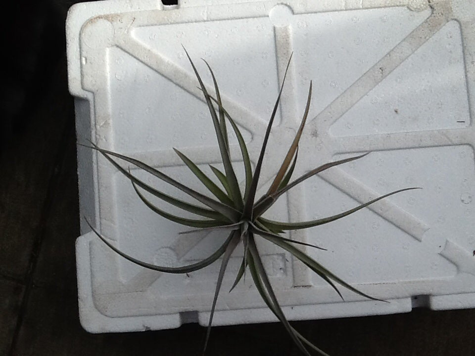 Image of Tillandsia jucunda
