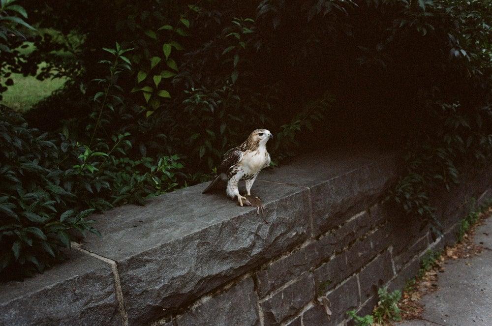 Image of Falcon, New York City