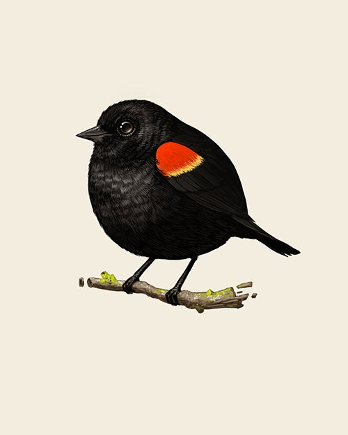 Image of Red-winged Blackbird
