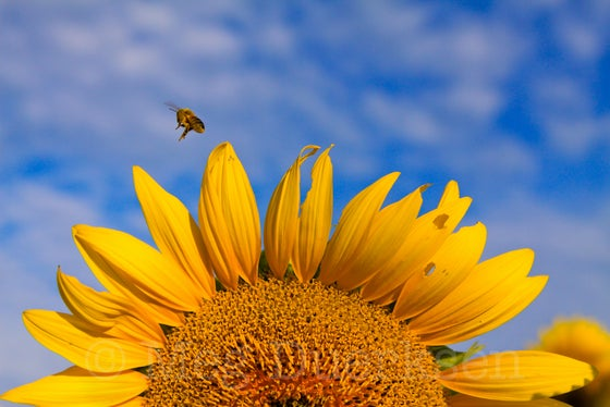 Image of Blue Sky Bee Canvas Wrap