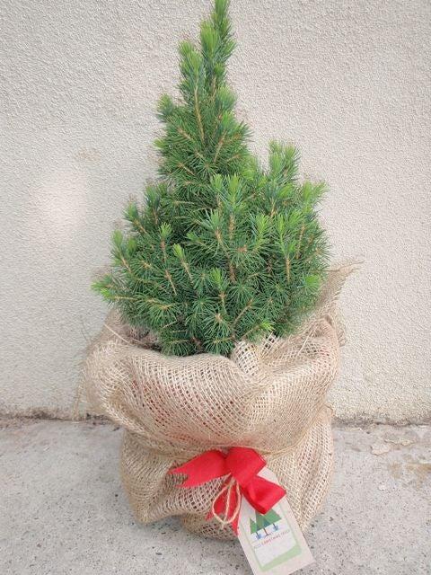 Image of Mini Pine Christmas tree - approx 30 cm tall