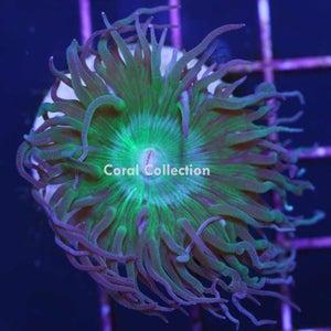 Image of Neon Duncan