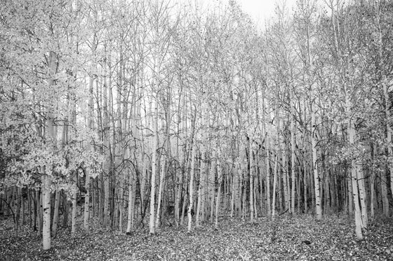 Image of Aspen Trees