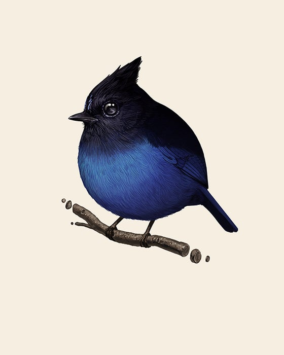 Image of Fat Bird - Stellar's Jay