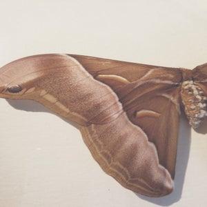 Image of Saturniidae - Attacus - Moth