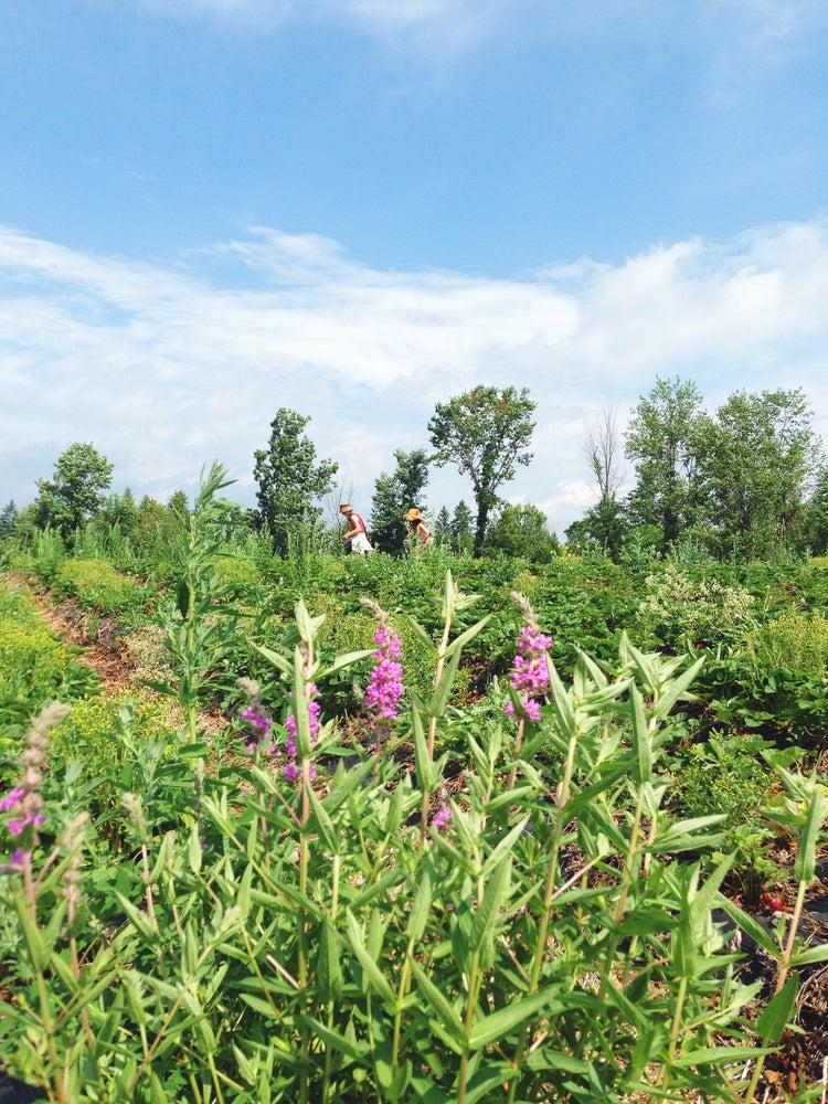Image of Strawberry Fields