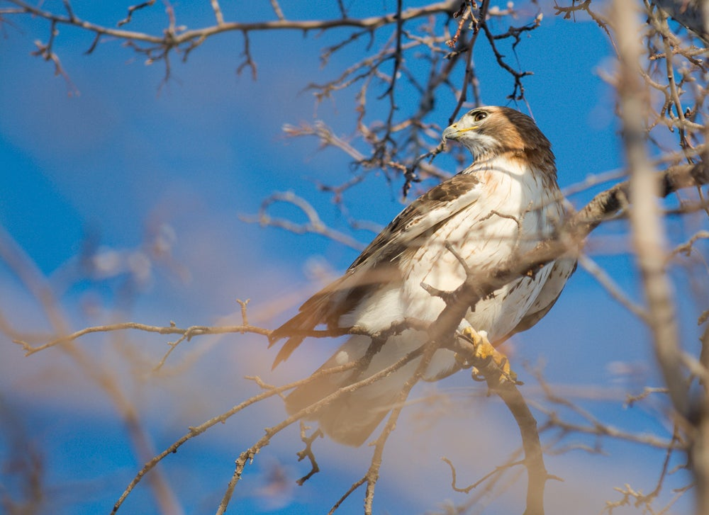 Image of Red Tailed Hawk Four-20 x 30 Print