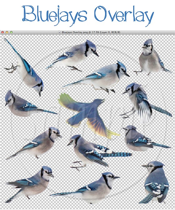 Image of Bluejays Overlay