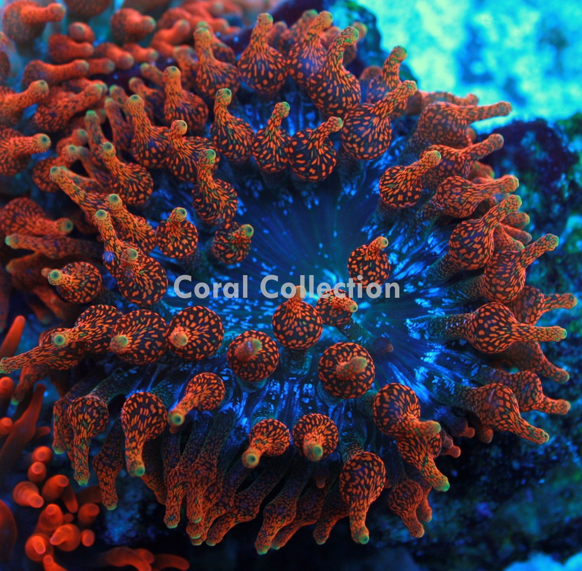 cc supernova bta coral collection