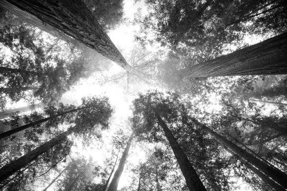 Image of Redwood Forrest