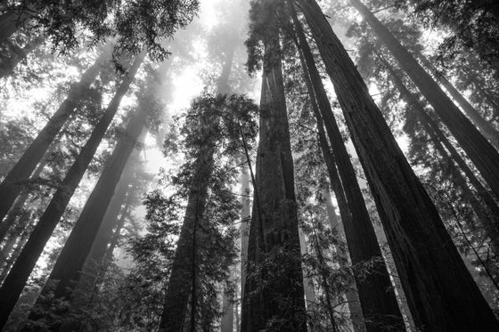 Image of Redwood Forrest #3