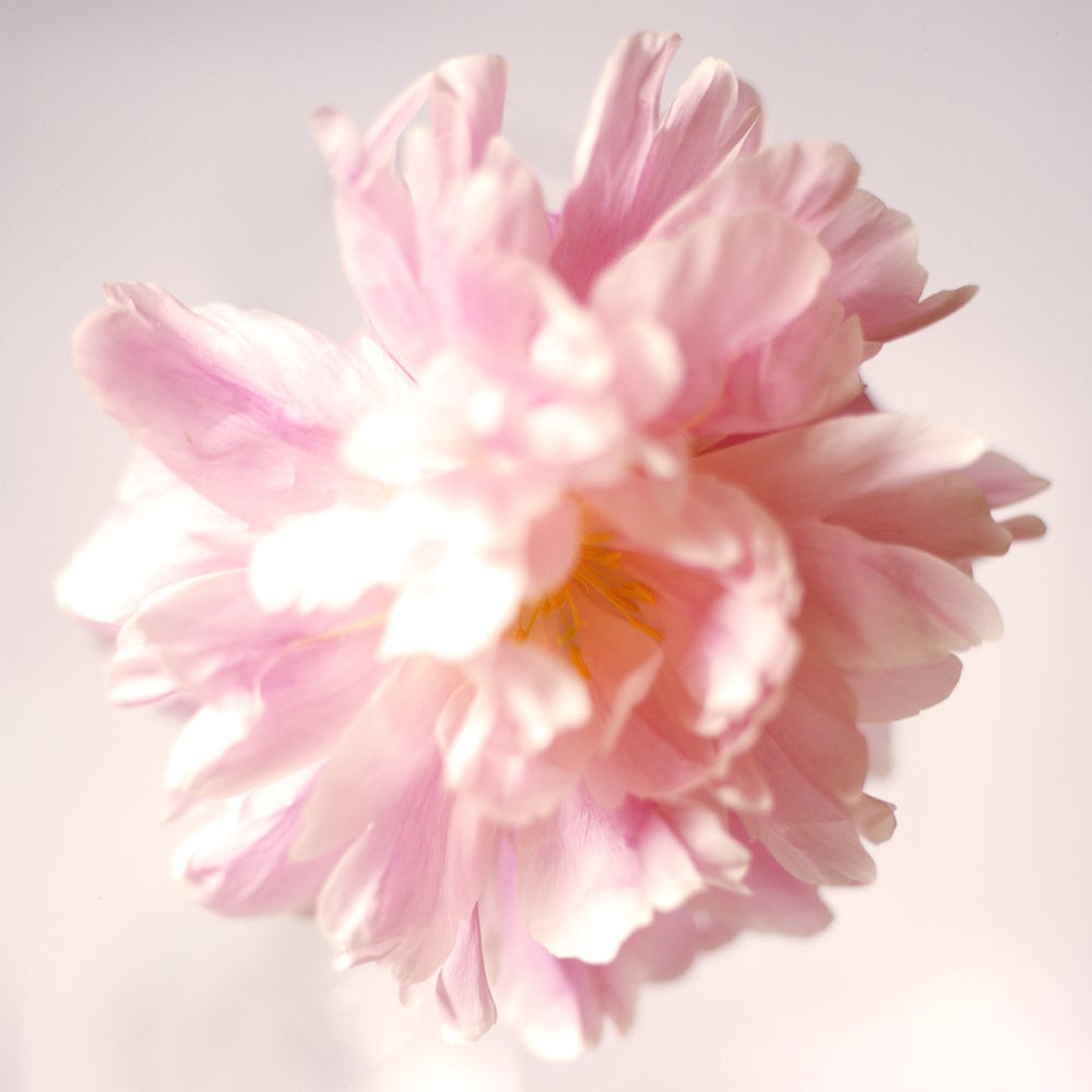 Image of Light peony