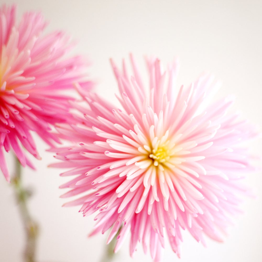 Image of Mums flower photograph