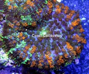 Image of CC Gum Drop Mushroom