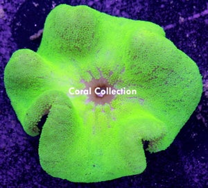 Image of Neon Carpet Anemone