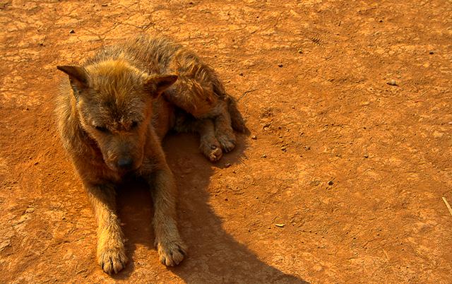Image of Thailand Dog