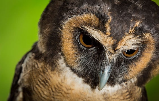 Image of 'Drizzle' - Asian Brown Wood Owl