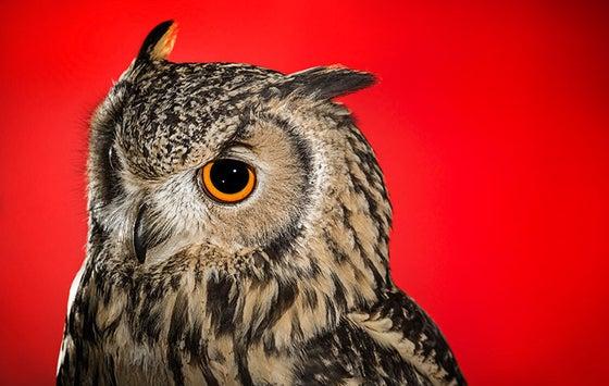 Image of 'Tiree' - Indian Eagle Owl