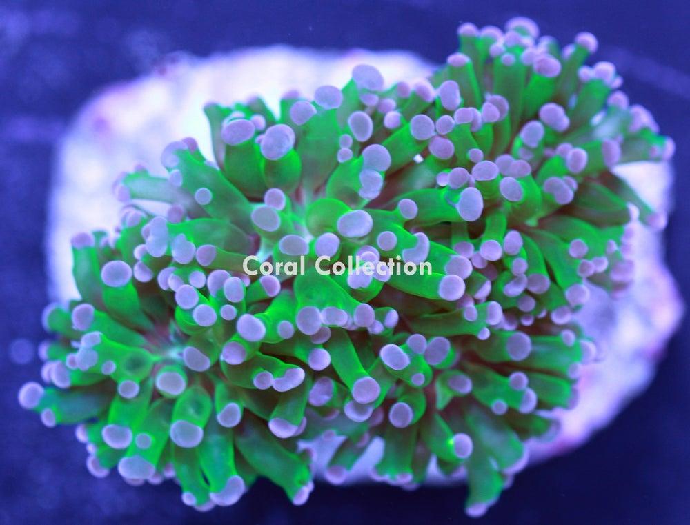Image of CC Purple Tip Frogspawn