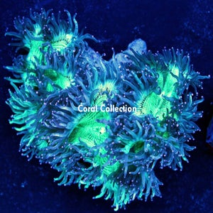 Image of Aussi Elegance Coral