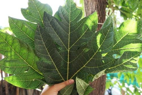 Image of PAPAYA LEAF spagyric tincture - alchemically enhanced plant extraction