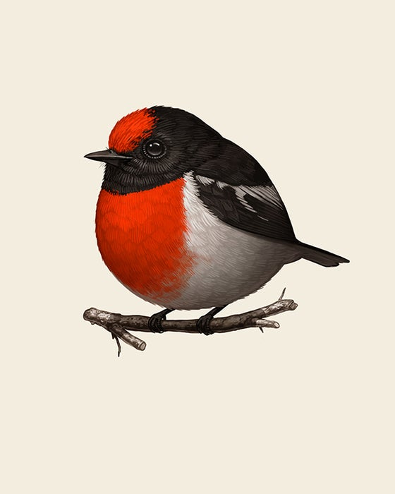 Image of Red-capped Robin