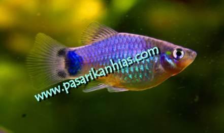 Image of jual ikan cupang hias murah