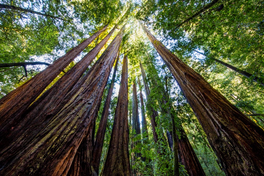 Image of California Redwoods