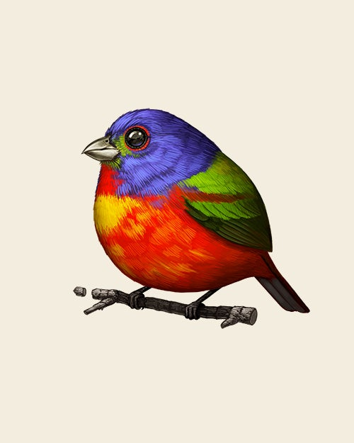 Image of Painted Bunting