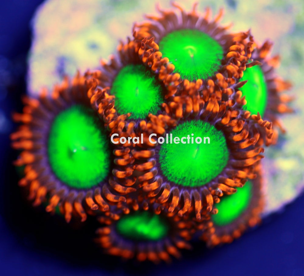 Image of CC Goblins Fire Zoa