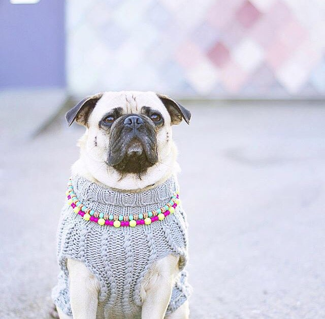 Image of Honey i Dressed The Pug