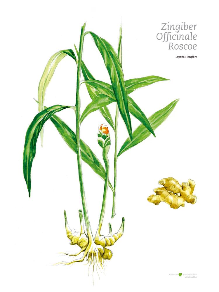 Image of Ilustración botánica | Jengibre
