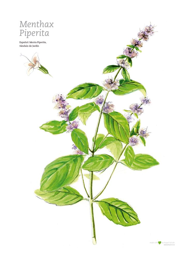 Image of Ilustración botánica | Menta