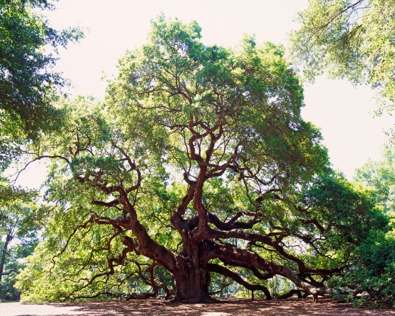 Image of Angel Oak in color