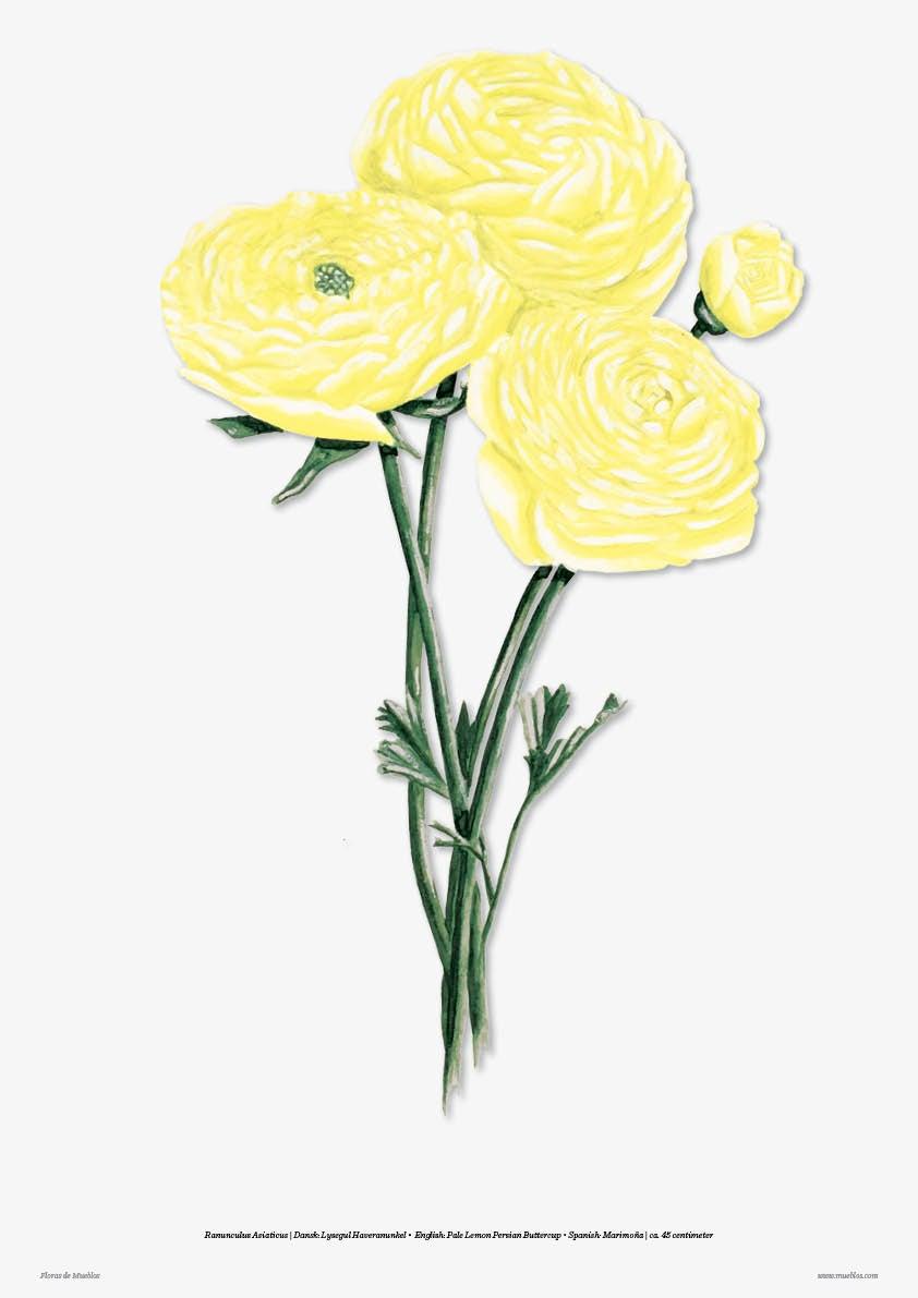 Image of Pale Lemon Persian Buttercup