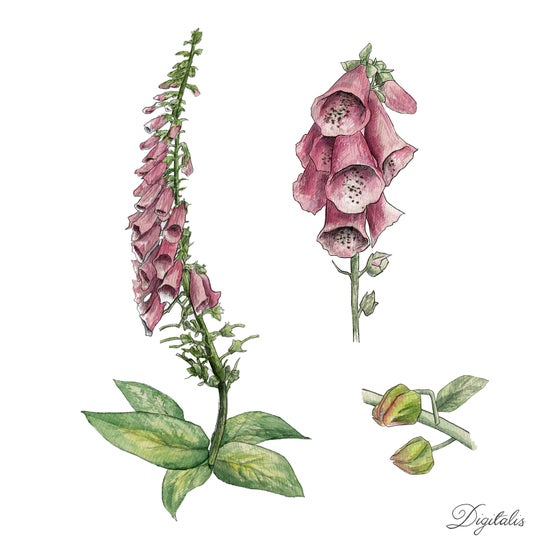 Image of Pink Foxglove - Limited Edition Print