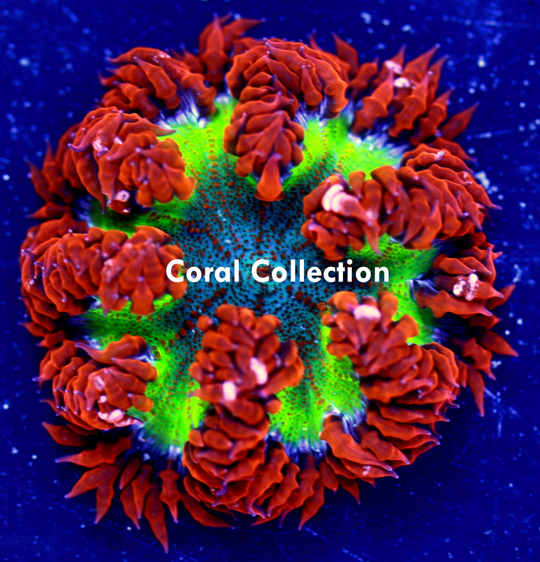 Rainbow Rock Flower Anemone / Coral Collection