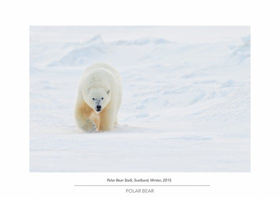 Image of Polar Bear Portfolio